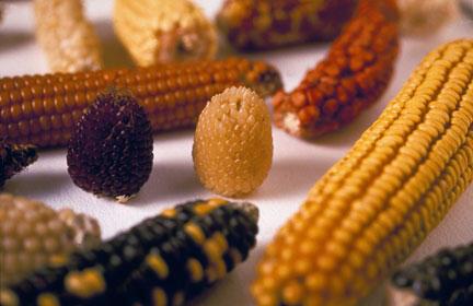 Différents épis de maïs montrant la diversité génétique du genre zea.