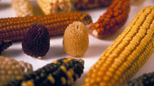 Foto de ilustración: el gobierno de México prohibió el maíz transgénico y ordenó eliminar en los próximos tres años el uso del herbicida glifosato.