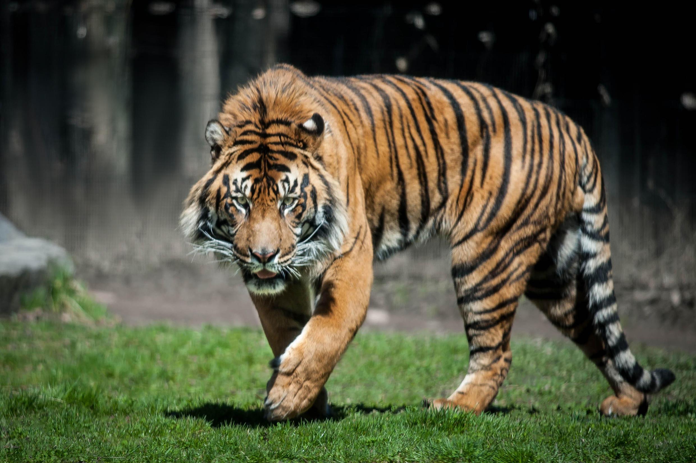 Cọp Sumatra chỉ còn lại từ 400 đến 500 con.