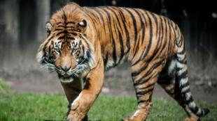 Il ne reste guère plus de 400 tigres sur l'île de Sumatra.