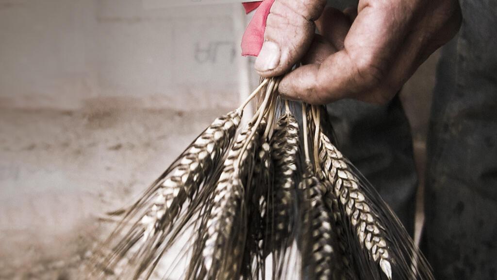 Во Франции из 18 миллионов гектаров сельскохозяйственных культур крестьянские сорта занимают только 2000 гектаров, что составляет 0,01% этих земель.
