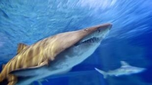 Sharks have been around for more than 400 million years and the fish are particularly vulnerable to population decline due to their slow maturation and long gestation periods