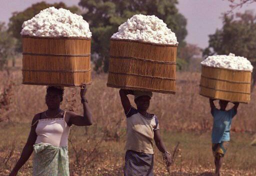 Cueillette de coton à Ouagadougou, au Burkina Faso (image d'illustration).