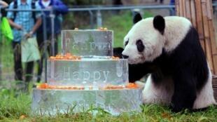 Le panda Pan Pan est mort à 31 ans des suites d'un cancer. Il est ici devant son gâteau d'anniversaire (fait de glace) pour ses 30 ans, le 21 septembre 2015.