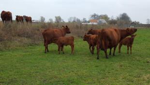 Rouge suédoise, race de vaches rustiques. Utilisées pour le lait, comme la viande.