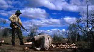 En Tanzanie, le braconnage des éléphants reprend de plus belle. Au moins 60 éléphants ont été tués pendant les mois de novembre et décembre 2013.