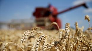 Champ de blé, France.