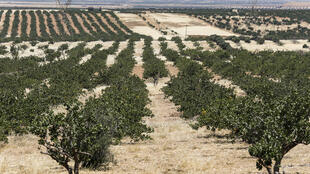 Syrie - Agriculture - pistaches - verger