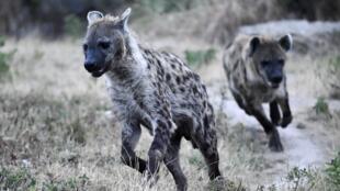 hyène parc belgique