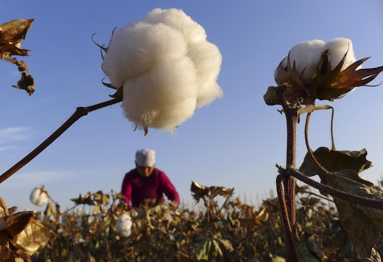 Un fermier dans un champ de coton à Hami, dans le Xinjiang.