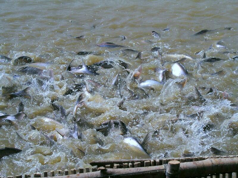 Fishes-in-Tonle-Sap-Lake