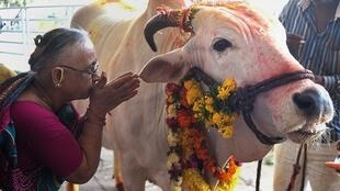 An Indian Hindu lady makes an offering to a cow