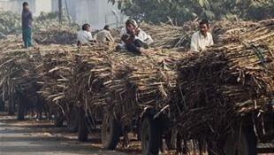 Des travailleurs portent des cannes à sucre à Modinagar, dans la région de l'Uttar Pradesh, en Inde.