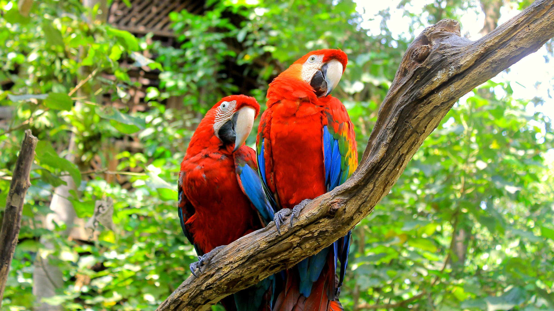 aras-rouges-equateur