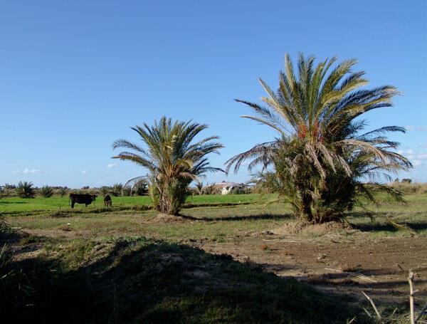 Dans le nord du Delta, de plus en plus de champs, gorgés de sel, sont abandonnés.