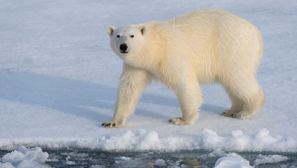 Urso polar em Svalbard, na Noruega