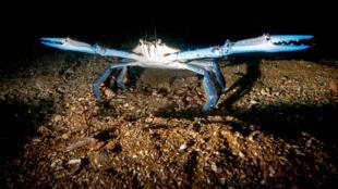 Los ecologistas temen que esta especie, no autóctona, tenga efectos nocivos sobre la biodiversidad del Estuario del Gualdalquivir.
