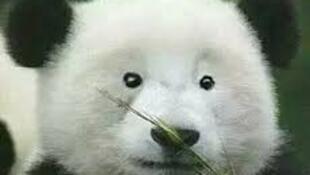 图为中国网络恶搞大熊猫幽默图