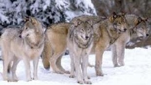 There are an estimated 250 wolves in France