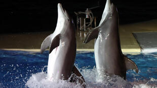 Dolphins perform at the  Marineland aquatic park in Antibes