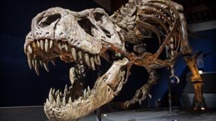 """O Tiranossauro Rex """"Trix"""" no Museu de Leiden na Holanda (setembro 2016)"""
