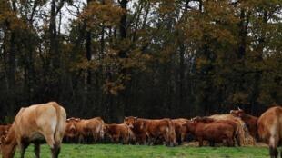 A exportação de vacas da Normandia para o Irã está ameaçada pelas sanções americanas. (foto ilustrativa)