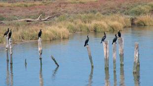 Les cormorans dans le parc naturel de Doñana.