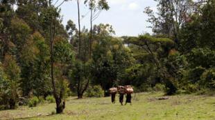 Msitu wa Mau nchini Kenya