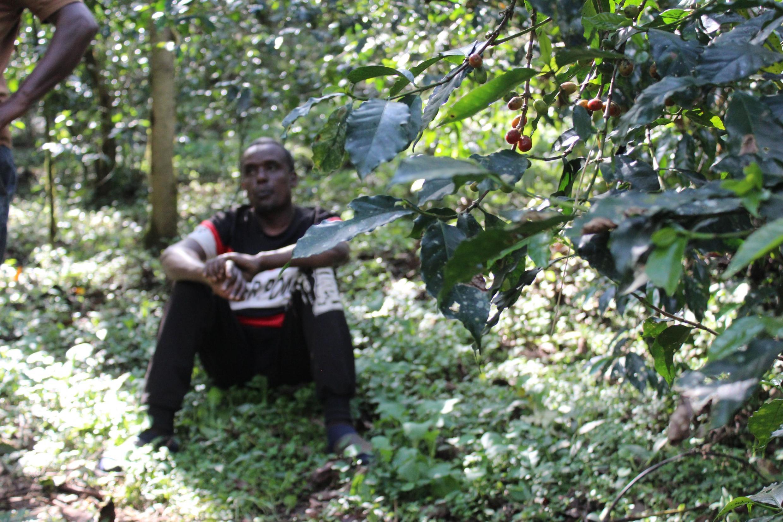 Un caféier de la forêt des frères Mohammed, dans la région de Jimma (Éthiopie).