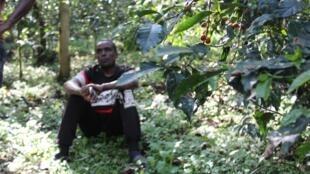 Un caféier de la forêt des frères Mohammed, dans la région de Jimma.