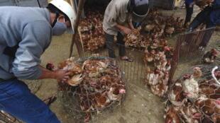 Một chợ gia cầm ở ngoại ô Hà Nội. Ảnh chụp ngày 16/03/2012.