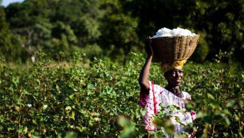Une femme dans un champ de coton, au Mali.