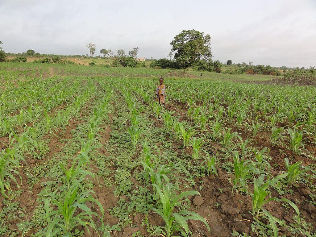 Le Togo pratique une agriculture vivrière. Il espère toutefois beaucoup de la nouvelle Zlec pour rééquilibrer sa balance commerciale.
