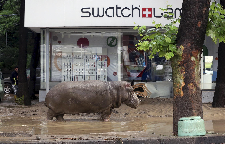 Um hipopótamo que escapou do zoológico anda perdido nas ruas de Tbilisi.