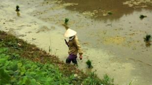 Une rizière au Vietnam. Le riz est touché par le ralentissement du commerce mondial.