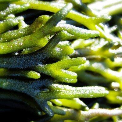 Algas verdes comestibles.