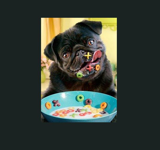 Cachorro se delicia com cereal especializado.