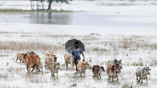 An Indian villager walks with his cattle through floodwaters at Buraburi village in Morigoan district of Assam state