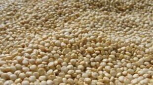 Le quinoa, plante herbacée cultivée dans les hautes plaines des Andes.