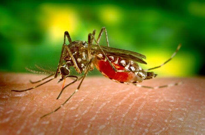 Aedes aegypti é responsável pela transmissão do vírus da dengue.