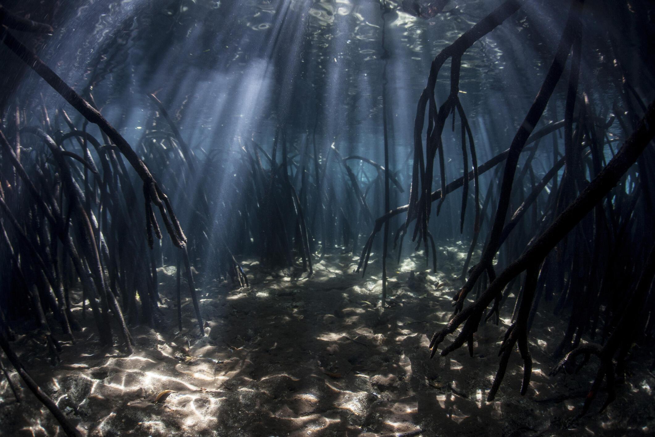 Le concept de carbone bleu s'applique à l'écosystème spécifique de la mangrove, des algues et des marais du littoral. La mangrove absorberait jusqu'à cinq fois plus de CO2 que les plantes d'une forêt tropicale.