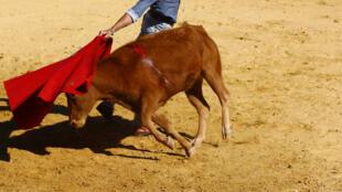 Dans l'elevage de Juan Pedro Domecq, non loin de Séville, un toreador teste une jeune vache, futur mère d'un taureau de combat.