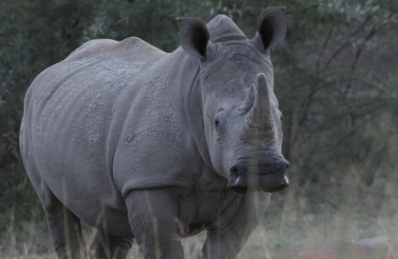 Un rhinocéros dans le Pilanesberg National Park en Afrique du Sud.
