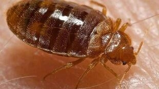 The invader - a bedbug takes a bite