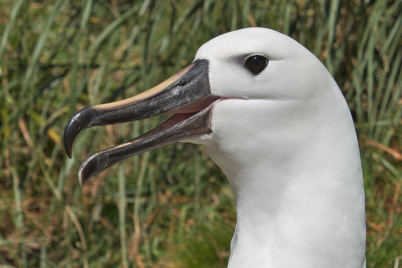 Endangered Atlantic yellow-nosed albatrosses were affected by deadly encounters with fishing gear.