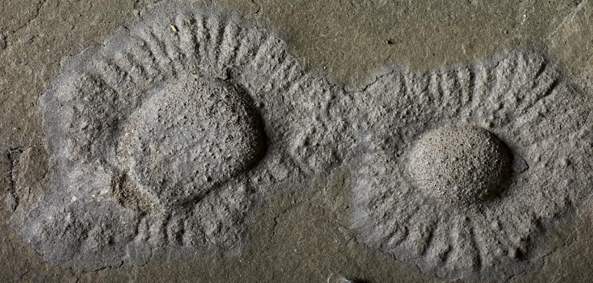 Macrofossile de type lobé avec une structure périphérique radiale.