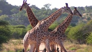 2021_05_12 Giraffe populations are in decline across Africa