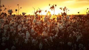 Depuis le printemps dernier, au moment où les sociétés cotonnières avaient fixé le prix aux producteurs, en Afrique de l'Ouest, la tonne de coton vendue sur le marché international a perdu près de 30%.