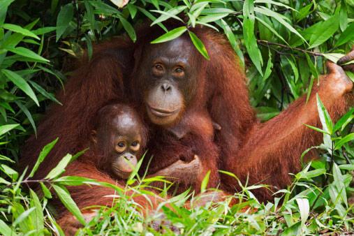 Image d'archive RFI : une femelle orang-outan de Bornéo avec son petit.