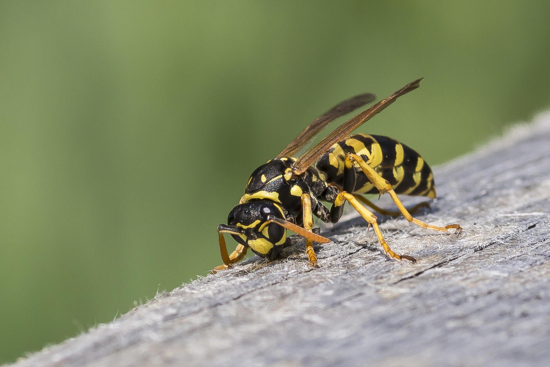 Si elle ne produisent pas de miel, les guêpes ont un rôle écologique important.